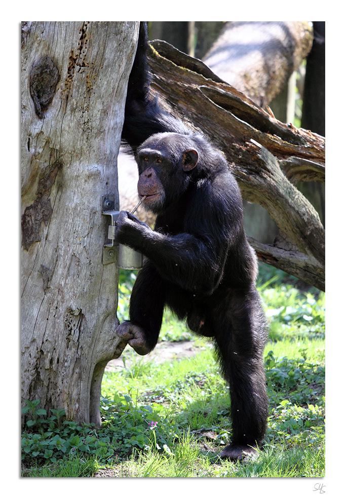 Tiergarten Straubing - Schimpanse